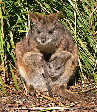 Parma wallaby - Image: Parma wallaby crop 2