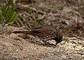 Passerella unalaschcensis, Sauvie Island, Oregon, USA 2.jpg