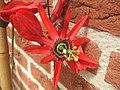 Passiflora racemosa10.jpg