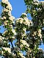 Pear blossom (Pyrus) 15.JPG