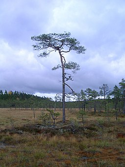 Peat bog in Dalarna, Sweden. Bogs and peatland are widespread in the taiga. They are home to a unique flora, and store vast amounts of carbon. In western Eurasia, the Scots pine is common in the boreal forest. Peatbogg-pine.JPG