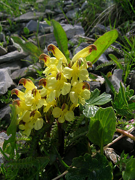 Pedicularis oederi.JPG