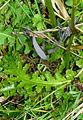 Pedicularis sceptrum-carolinum B.jpg