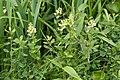 Pedicularis yezoensis 09.jpg