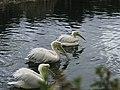 Pelicano blanco (6818476342).jpg