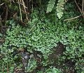 Pellia epiphylla5 ies.jpg