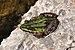 Pelophylax ridibundus qtl4.jpg