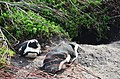 Penguin colony in Hermanus 08.jpg