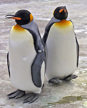 Flightless bird - Penguins are a well-known example of flightless birds