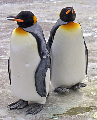 Flightless bird - Penguins are a well-known example of flightless birds.