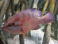 Percoidei - Cephalopholis miniata - 2.jpg