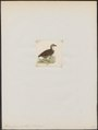 Perdix personata - 1820-1863 - Print - Iconographia Zoologica - Special Collections University of Amsterdam - UBA01 IZ17100109.tif
