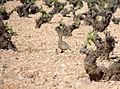 Perdiz en los campos de El Toboso (DavidDaguerro).jpg