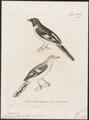 Pericrocotus flammeus - 1700-1880 - Print - Iconographia Zoologica - Special Collections University of Amsterdam - UBA01 IZ16500397.tif