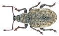 Peritelus sphaeroides Germar 1824 (18165505392).png