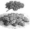 Persil nain très frisé Vilmorin-Andrieux 1883.png