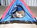 Pet hedgehog in a tent.jpg