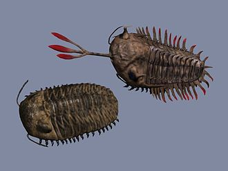 Phacopida - Reconstruction of the phacopids Phacops and Walliserops