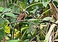 Phaethornis striigularis (perched).jpg