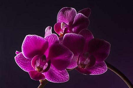 Phalaenopsis Cultivar Mini