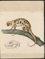 Phalangista maculata - 1700-1880 - Print - Iconographia Zoologica - Special Collections University of Amsterdam - UBA01 IZ20300248.tif