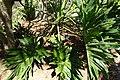 Philodendron bipinnatifidum (Philodendron selloum) - Naples Botanical Garden - Naples, Florida - DSC09588.jpg