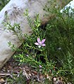 Philotheca salsolifolia.jpg
