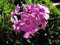 Phlox subulata 'Holly'.jpg