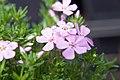 Phlox subulata Emerald Pink 2zz.jpg