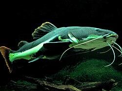 Le poisson-chat à queue rouge vit en Amazonie