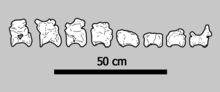 Eight illustrated tail vertebrae laid out in a row, with a 50cm scale bar below them