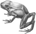 Phyllobates melanorrhinus (Berthold, 1846a).png