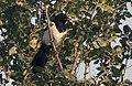 Pica pica - Eurasian Magpie 03.jpg