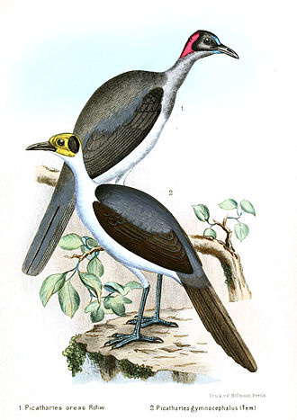 Picathartes - A 1902 illustration of the two species