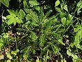 Picea abies20140713 017.jpg
