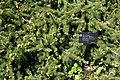 Picea abies 'Acrocona' - Morris Arboretum - DSC00452.JPG
