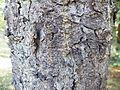 Picea orientalis 04.JPG