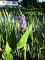 Pickerel weed (Pontederia cordata) - geograph.org.uk - 245413.jpg