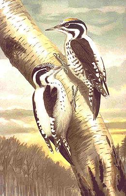 Picoides tridactylus NAUMANN