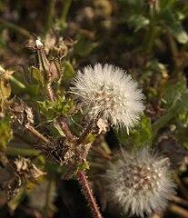Picris echioides infructescence.jpg