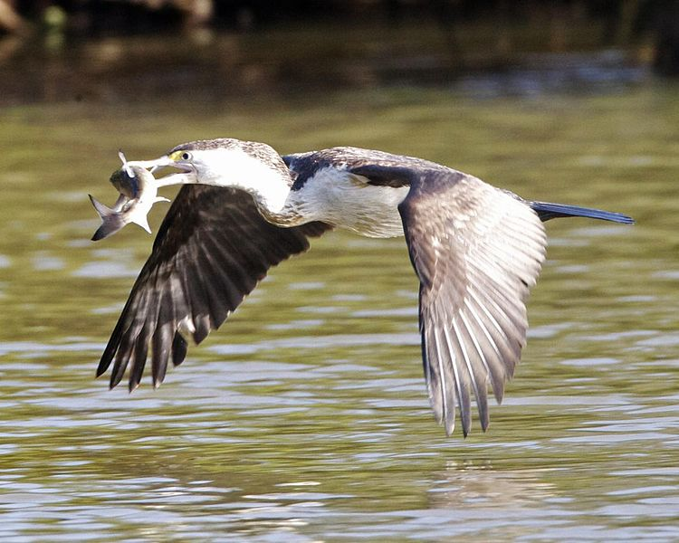 File:Pied Cormorant ( Phalacrocorax varius) - Flickr - Lip Kee (2).jpg