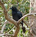 Pied Currawong.Strepera graculina - Flickr - gailhampshire (2).jpg