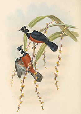 Piezorhynchus richardsii - The Birds of New Guinea (cropped).jpg