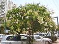 PikiWiki Israel 20887 Lagerstoemia indica.JPG