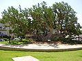 PikiWiki Israel 3040 old sycamore tree in netanya.jpg