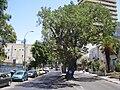 PikiWiki Israel 8308 sycamore trees in tel-aviv.jpg
