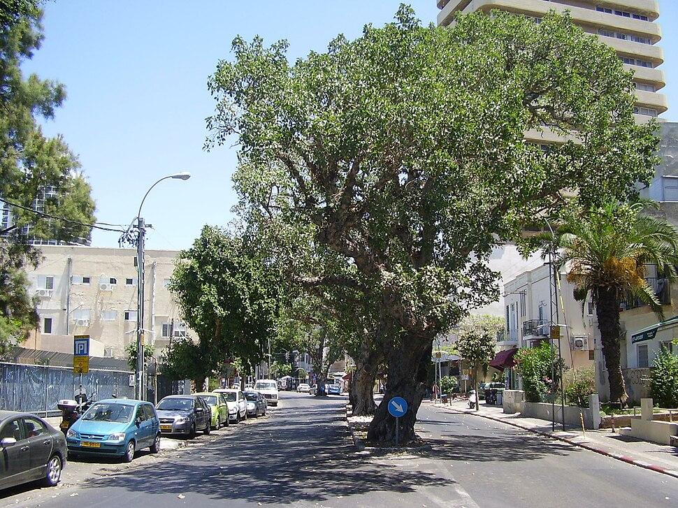 PikiWiki Israel 8308 sycamore trees in tel-aviv