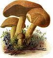 Pilze d. Heimat, T. 12 - Boletus variegatus.jpg
