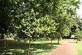 Pimenta Racemosa - Allée 02.jpg
