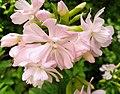 Pink blossom - Flickr - Stiller Beobachter.jpg